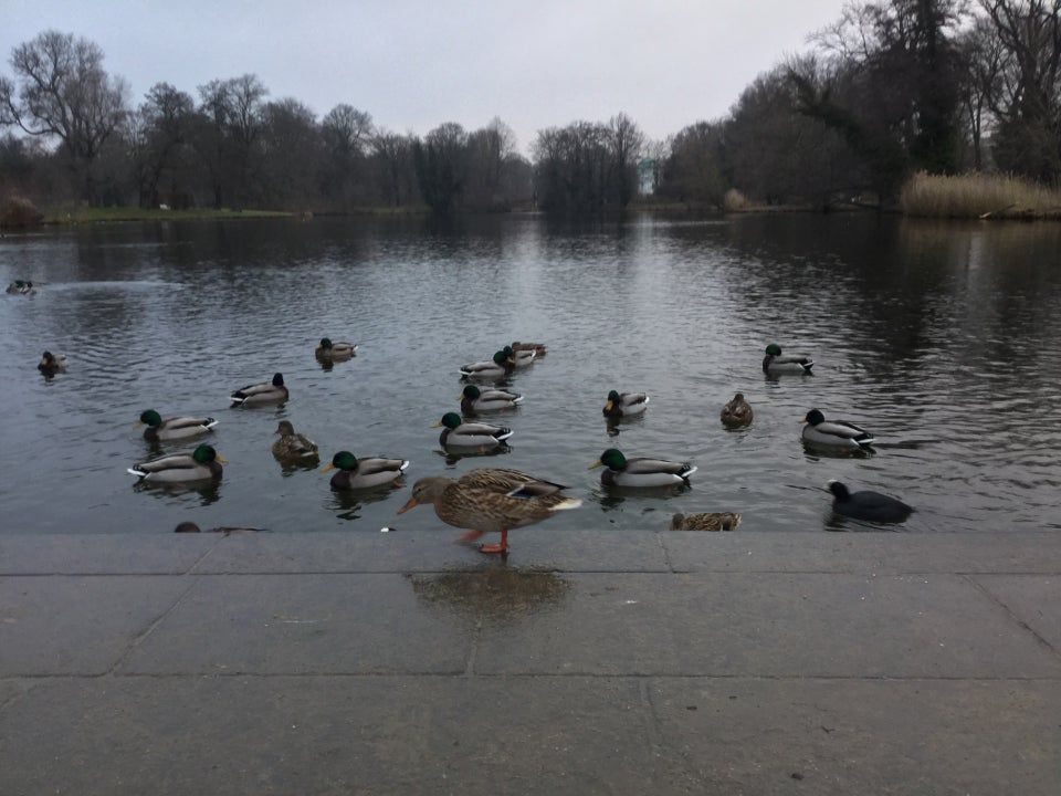 Trees on the distant shore of a pond, with numerous ducks on the near shore, one of them on the shore, snack on a crumb.