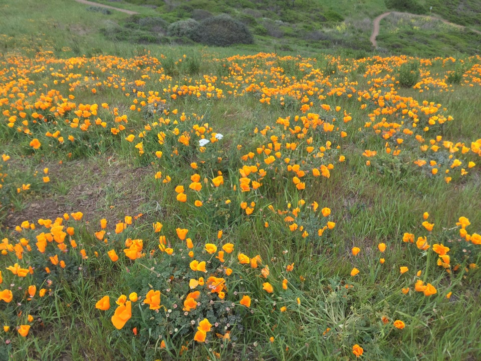 A field of California golden poppies on the side of the third mini peak south of the official two Twin Peaks.