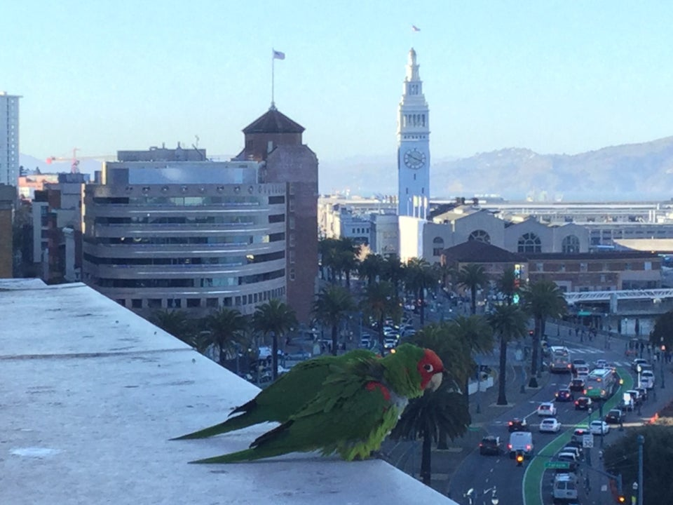 Two parrots standing on a ledge high above the Embarcadero, the Ferry Building clock tower in the background.