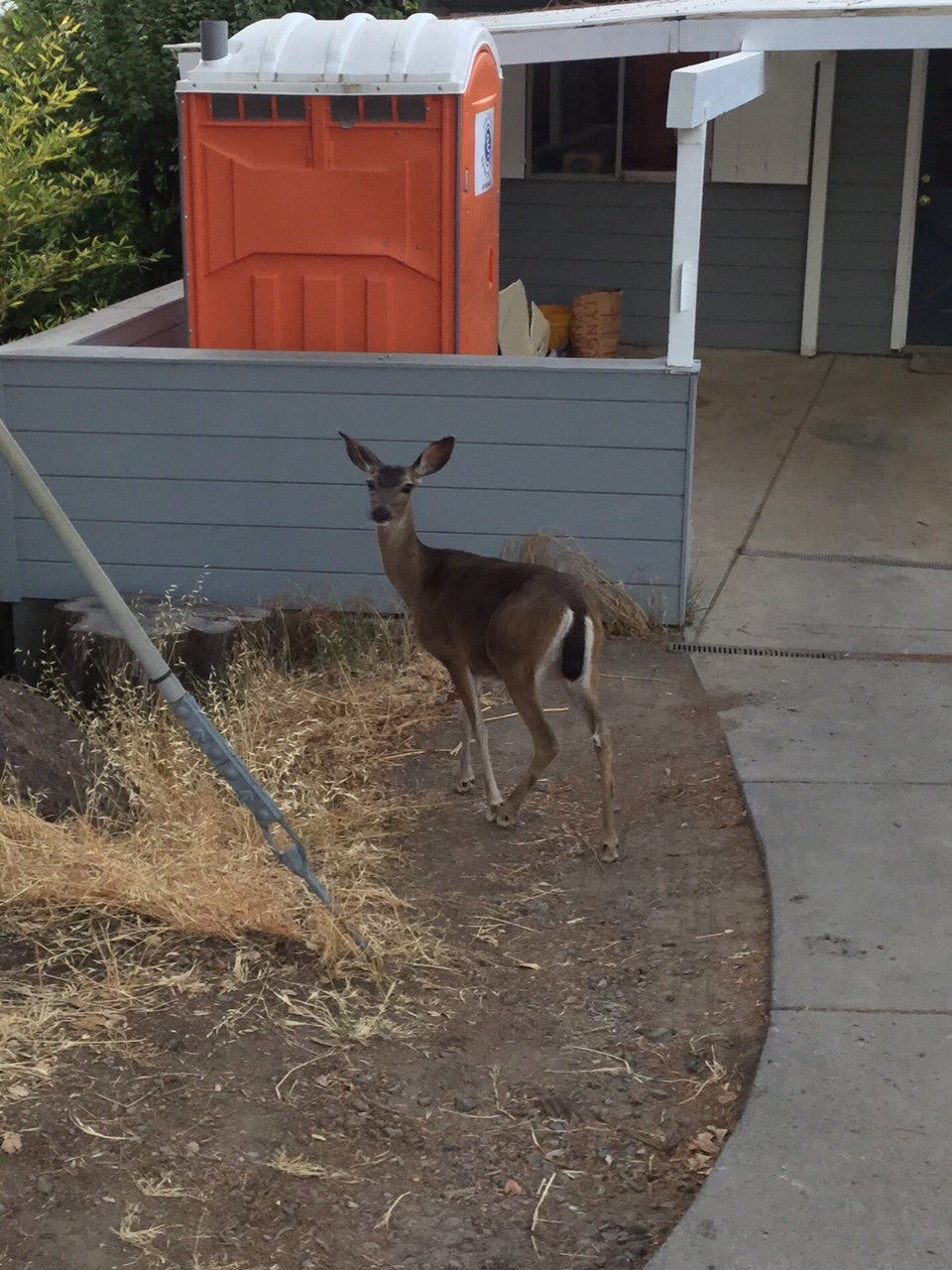 A deer near a driveway in front of a Mill Valley house
