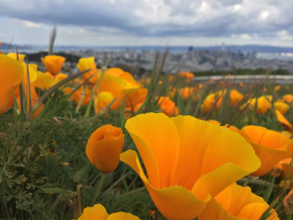 California poppies up close, among a mini-field of them, blurrier in the distance, blurry downtown San Francisco in the distance, East Bay hills, white, gray, and dark blue clouds above.