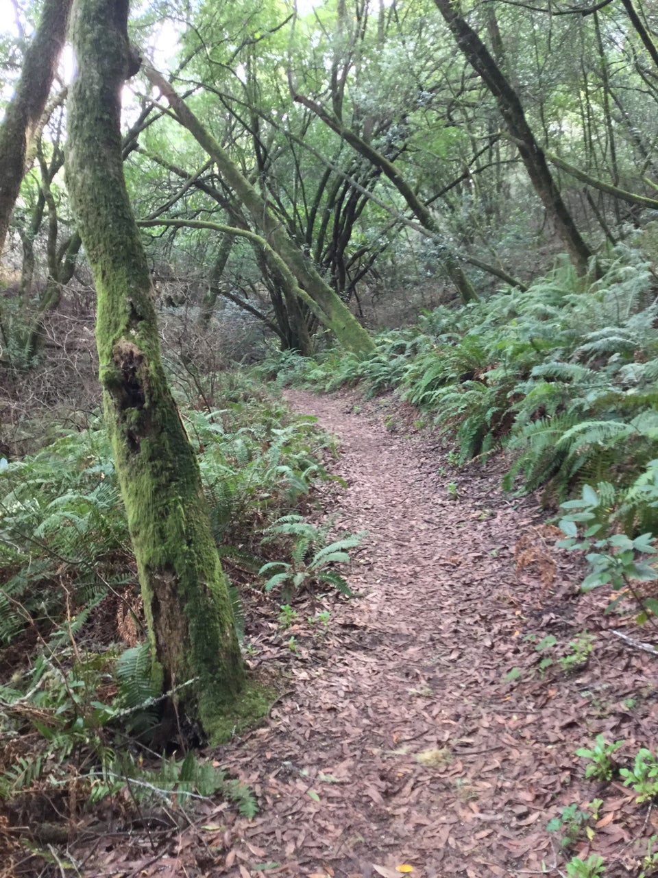 Smooth brown trail with ferns on either side, trees with their sides bright green with moss.