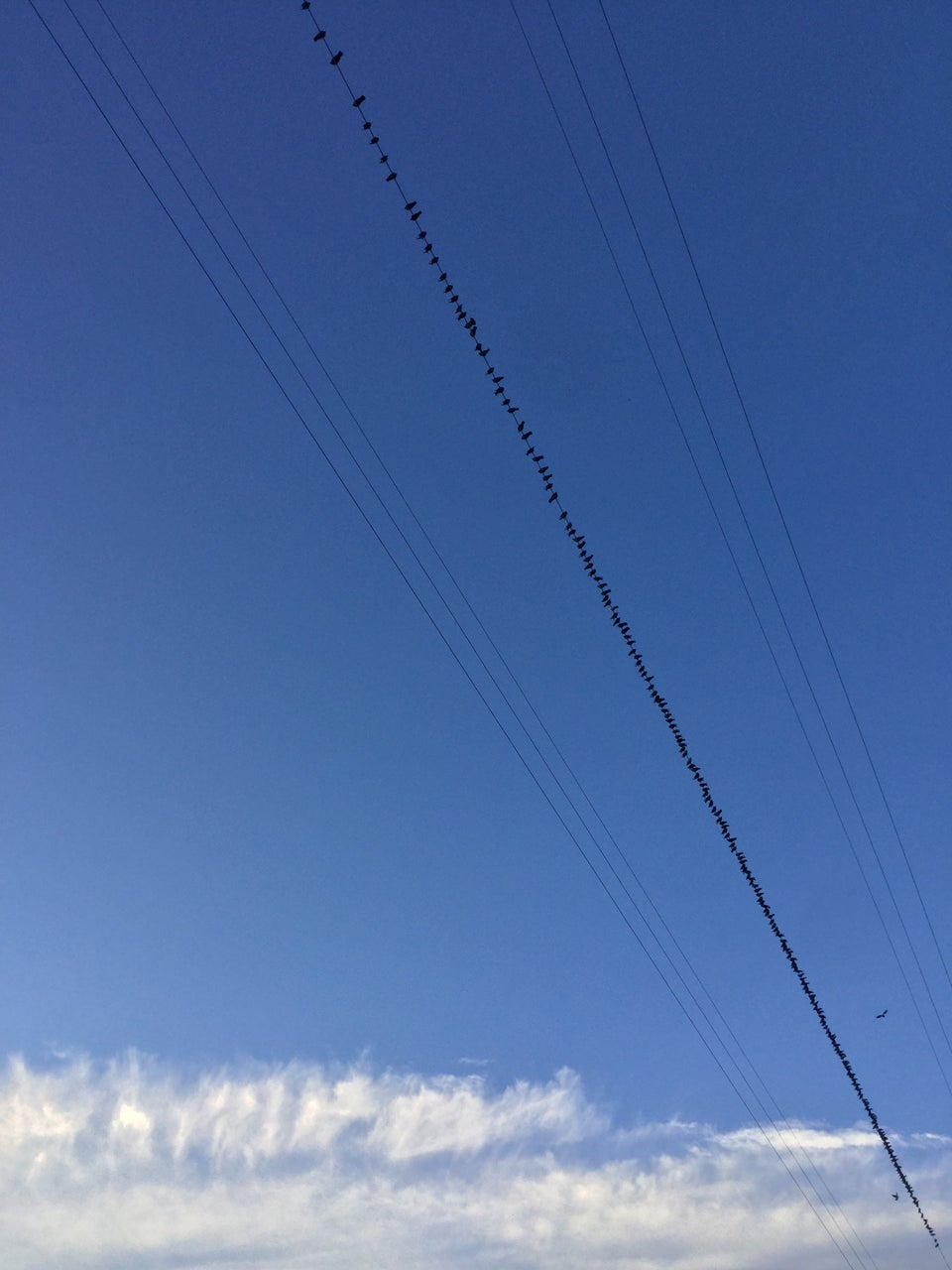 Hundreds of birds perched on a single wire among several wires overhead with a blue sky above them and clouds on the horizon.