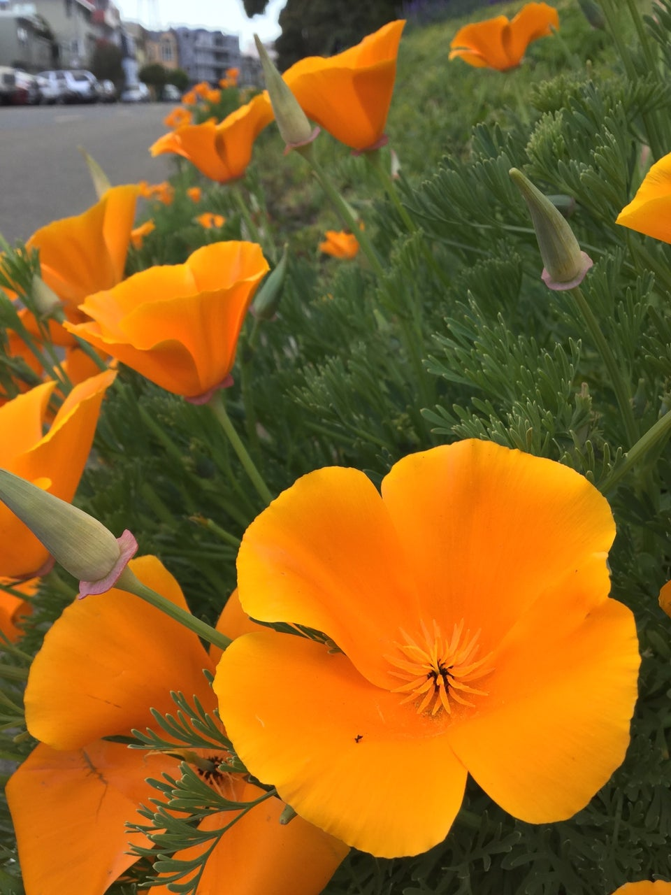 California golden poppies in full bloom on the side of a hill and receding into the distance, next to a street with cars parked on the other side of it, blurry from the distance.