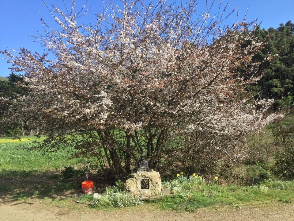 Large cherry tree blossoming above a small buddha statue and water tap at its base.