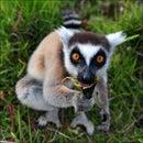 Lemur K