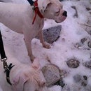 whiteboxerdogs whiteboxerdogs